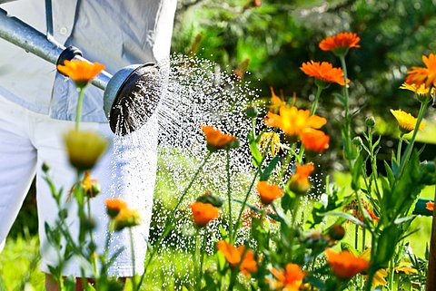 Watering flowers with a ewer